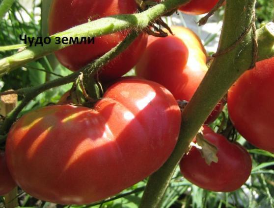 Томаты чудо земли выращивание отзывы 11