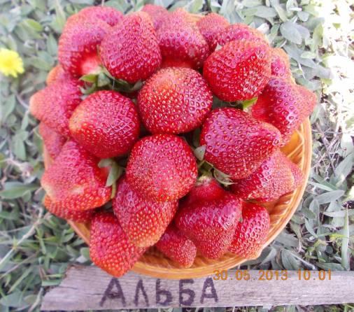 Клубника Альба фото ягод