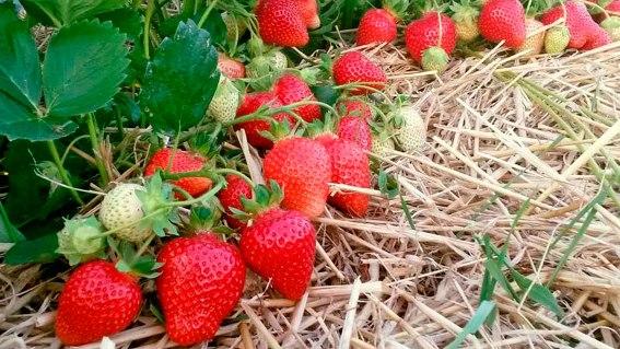 Фото ягод сорта Азия