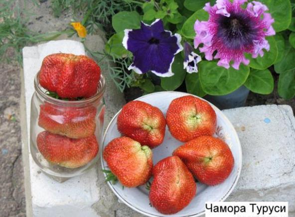 Фото ягод сорта Чамора Туруси