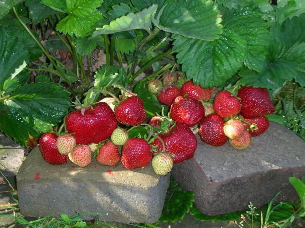 Клубника Чамора Туруси куст ягод