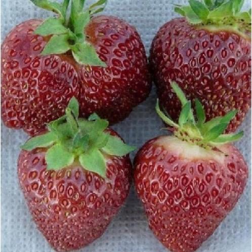 ягоды сорта клубники чёрный принц