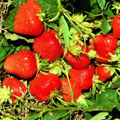 Клубника Дарселект ягоды на кусте
