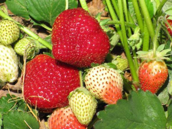 Клубника Дарселект фото ягод