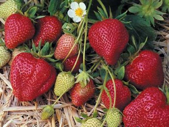 Клубника Дарселект куст с ягодами