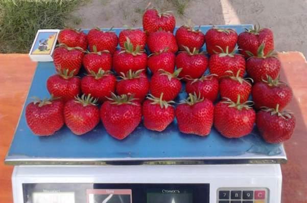Клубника Дарселект ягоды