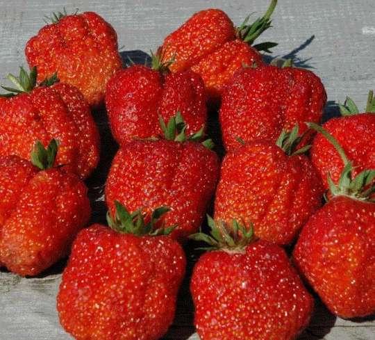 Фесьтивальная сорт клубники урожайный