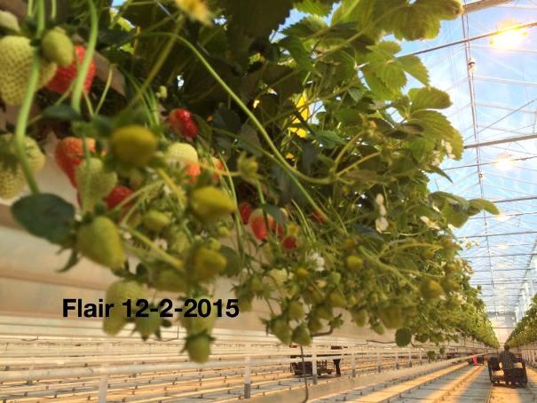 Клубника Флер выращивание в теплице