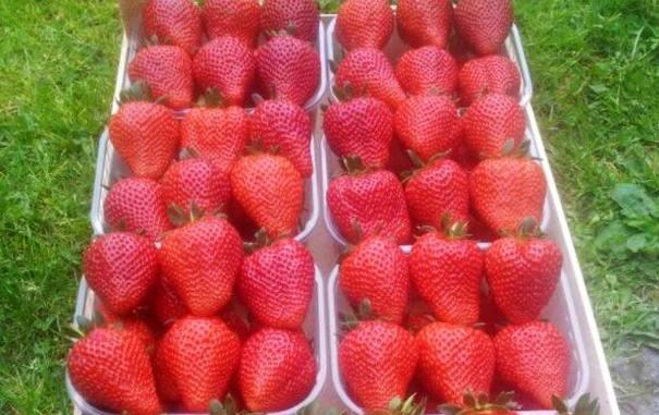 Клубника Флер фото ягод