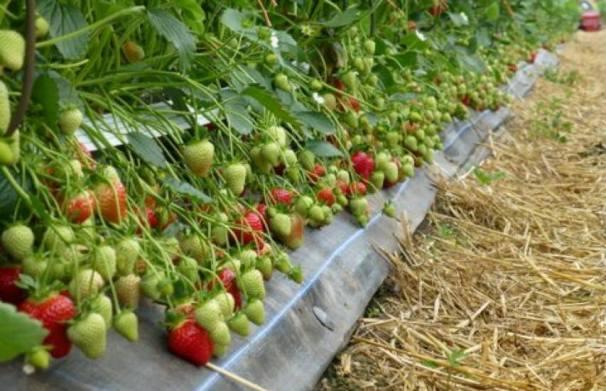 Урожай флер сорта клубники