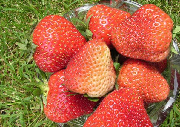 Клубника Флоренс фото ягод