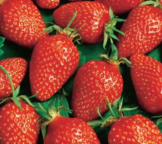 Клубника Фурор фото ягод
