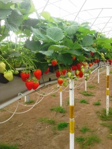 выращивание сорта Фурор