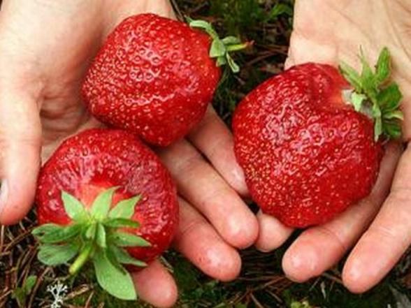 Клубника Гигантелла фото ягод