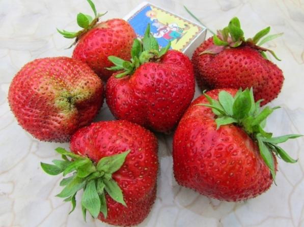Клубника Гигантелла размер ягод