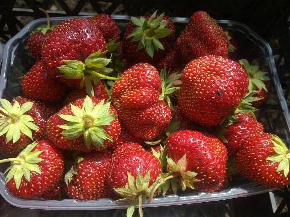 Клубника Кама ягоды