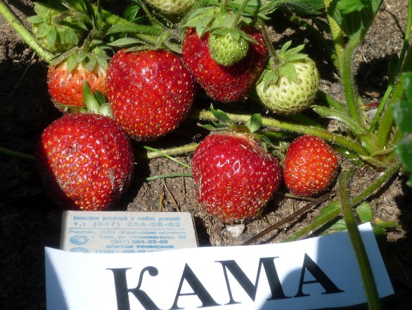 Клубника Кама выращивание