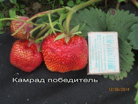 Клубника Камрад победитель