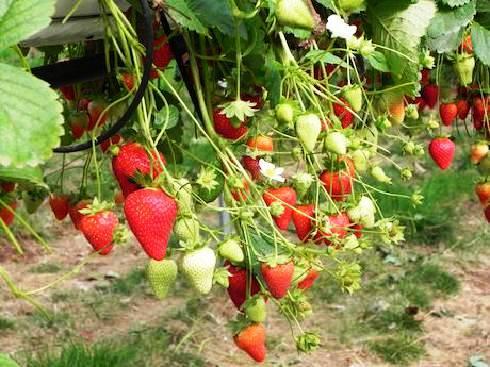 Клубника Капри выращивание и уход