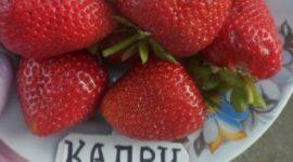 Клубника Капри описание фото отзывы