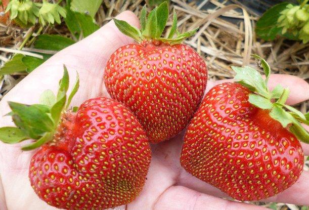 Фото ягод сорта Кардинал