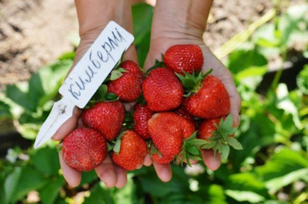 Клубника Кимберли фото ягод