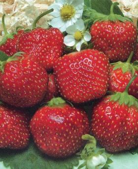 Клубника Искушение F1 ягоды