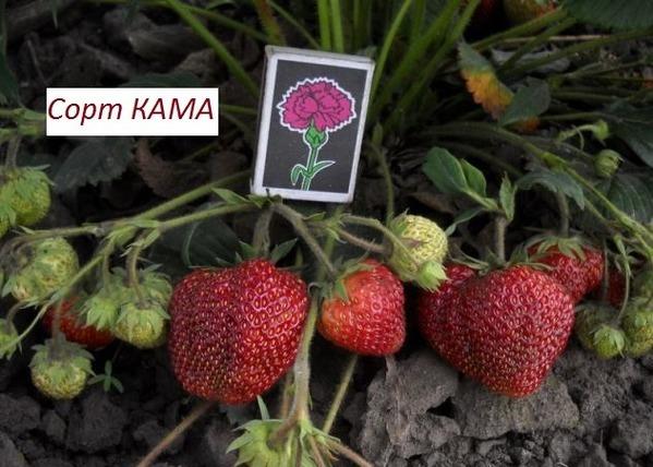 Клубника Кама фото сорта