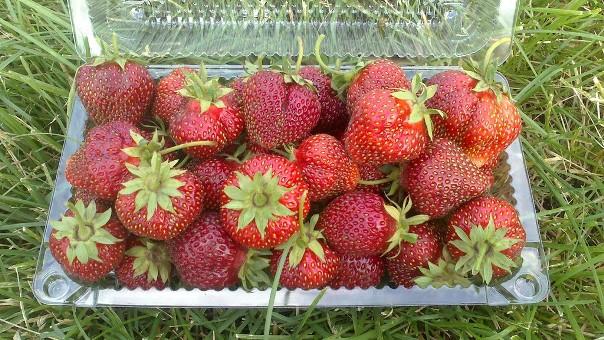 Фото ягод сорта Машенька