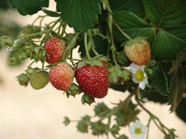фото ягод клубники московский деликатес