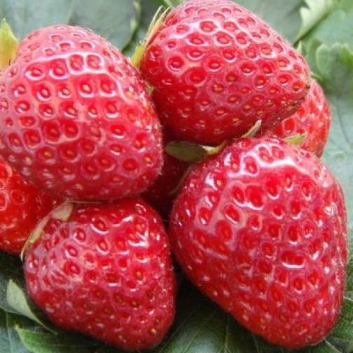 Клубника Корона фото ягод