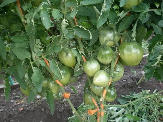 сорт помидора Батяня