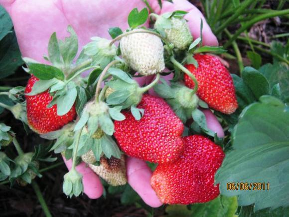 Клубника Маршалл куст ягод
