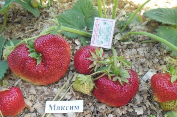 Клубника Максим выращивание и уход