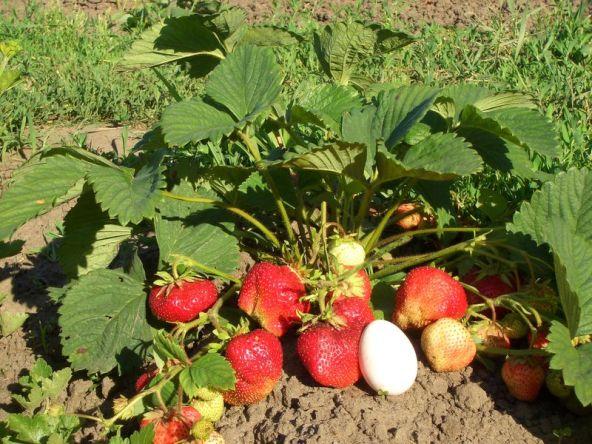 Куст с ягодами Максим