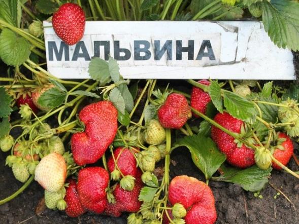 Клубника Мальвина выращивание и уход