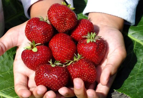 Клубника Мальвина фото ягод