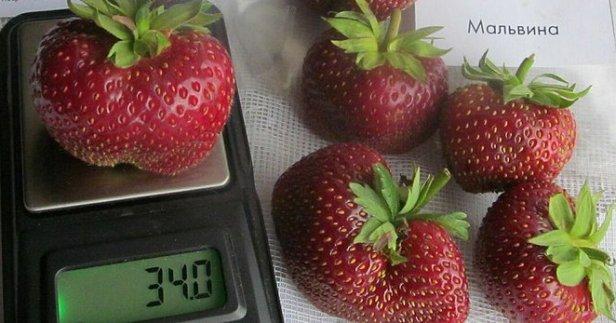 Клубника Мальвина вес ягоды