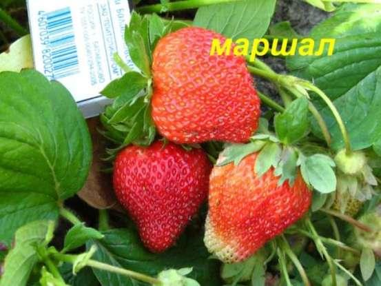 Фото ягод сорта Маршалл