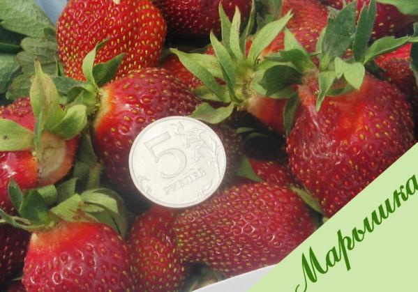 Фото ягод сорта Марышка
