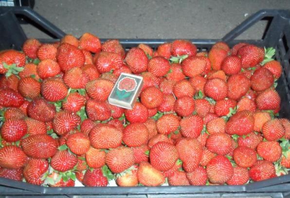 Клубника Полка фото ягод