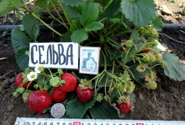 Фото ягод сорта Сельва фото видео