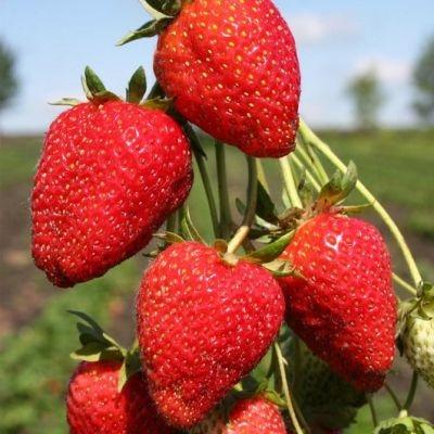 Клубника Сельва фото ягод