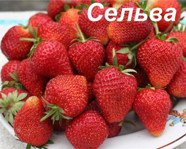 Фото ягод сорта Сельва