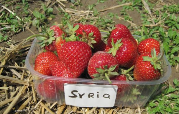 Клубника Сирия фото ягод