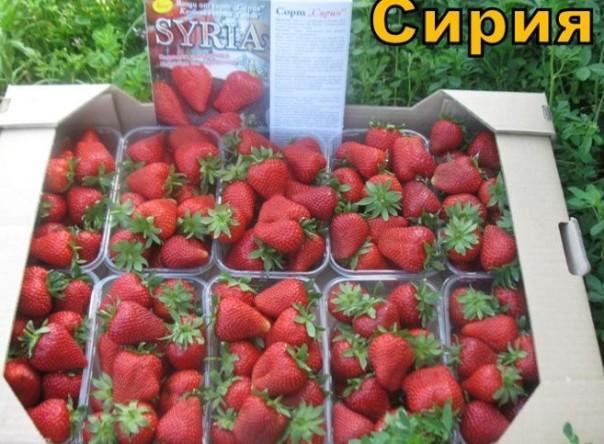 Сирия выращивание уход