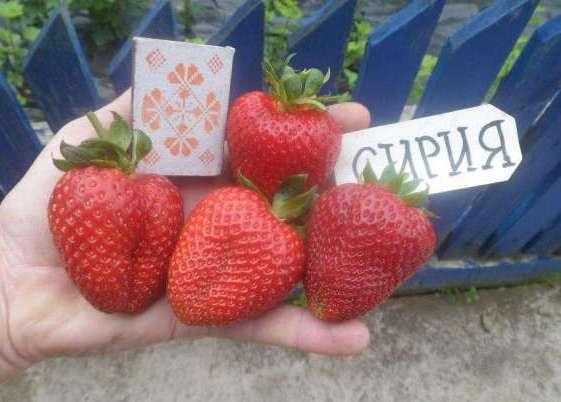 Клубника Сирия ягоды