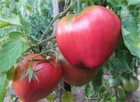 Спелые плоды томата Батяня