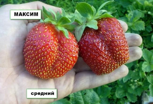 Клубника Максим фото