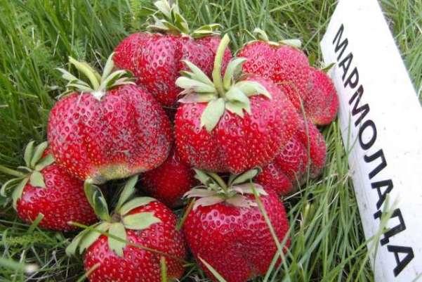 Клубника Мармелада ягоды